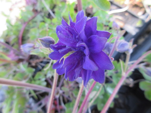 Aquilegia vulgaris var. stellata Blue Barlow - 9cm pot