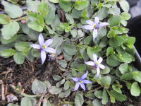 Pratia pedunculata County Park - 9cm pot