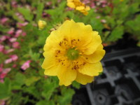 Geum Lady Stratheden - 9cm pot