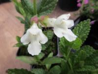 Melittis melissophyllum Alba - 9cm pot