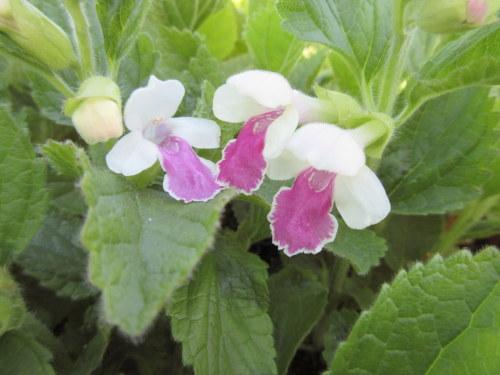 Melittis melissophyllum Royal Velvet Distinction - 9cm pot