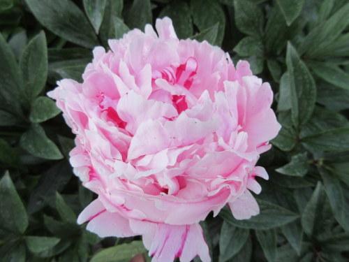 Paeonia lactiflora Sarah Bernhardt - 3 litre pot