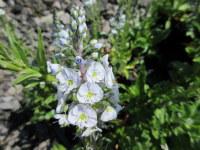 Veronica gentianoides - 9cm pot