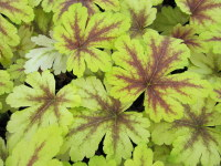 Heucherella Golden Zebra - 9cm pot