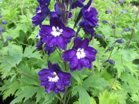 Delphinium Magic Fountains Dark Blue with White Bee - 2 litre pot