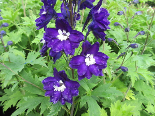 Delphinium Magic Fountains Dark Blue with White Bee - 9cm pot