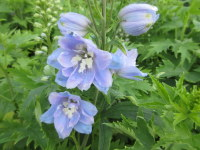 Delphinium Magic Fountains Sky Blue with White Bee - 2 litre pot