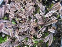 Leptinella squalida Platt's Black - 9cm pot