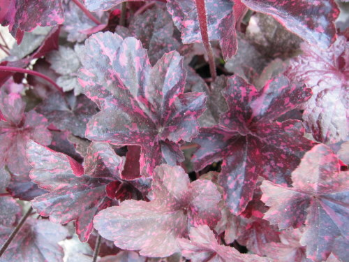 Heuchera Midnight Rose - 9cm pot