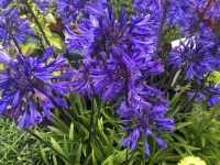 Agapanthus Midnight Star (Navy Blue) - 9cm pot