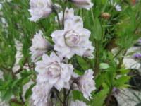 Delphinium Highlander Cha Cha - 2 litre pot