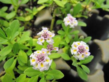 Phyla nodiflora - 9cm pot