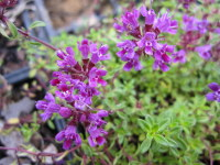 Thymus Coccineus Group - 9cm pot