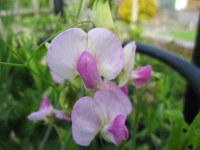 Lathyrus latifolius Rosa Perle - 9cm pot