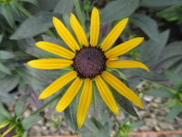 Rudbeckia fulgida Little Goldstar - 2 litre pot