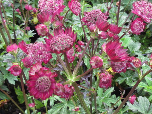 Astrantia major Gill Richardson - 9cm pot