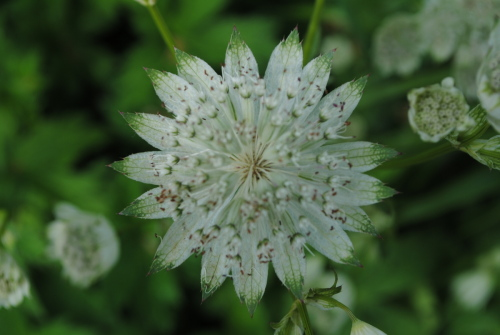 Astrantia Superstar - 9cm pot