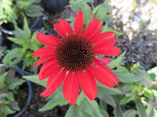 Echinacea SunSeekers Orange - 9cm pot