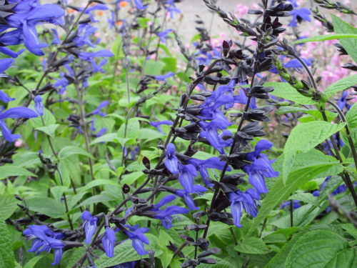 Salvia guaranitica Black and Blue - 2 litre pot