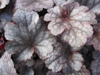 Heuchera Plum Pudding - 2 litre pot