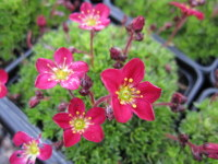 Saxifraga Peter Pan - 9cm pot