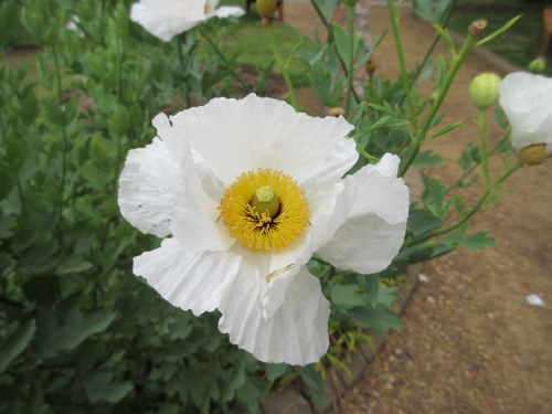 Romneya coulteri - 9cm pot
