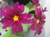 Primula Port Wine - 9cm pot