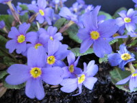 Primula Hall Barn Blue - 9cm pot