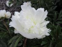 Paeonia lactiflora Duchesse de Nemours - 3 litre pot