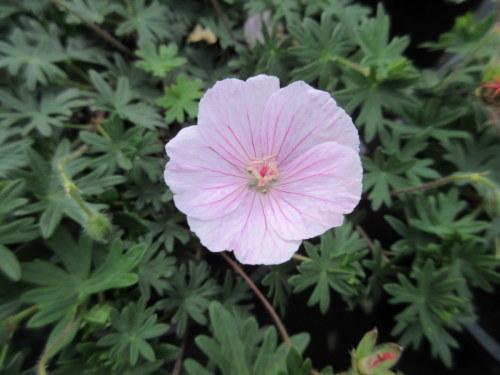 Geranium sanguineum var. striatum - 2 litre pot