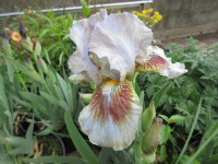 Iris Langport Storm (Intermediate Bearded) - 3 litre pot