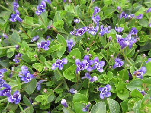 Lindernia grandiflora - 9cm pot
