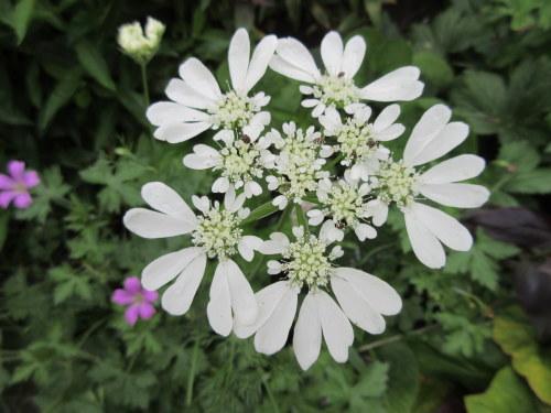 Orlaya grandiflora - 9cm pot