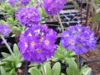 Primula denticulata lilac-flowered - 9cm pot