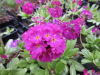 Primula denticulata ruby-flowered - 9cm pot
