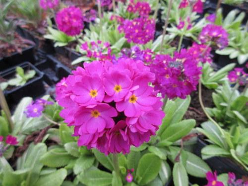Primula denticulata ruby-flowered - 9cm pot