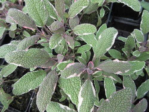 Salvia officinalis Tricolor - 9cm pot