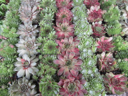 Sempervivum Collection 7cm - 5 plants