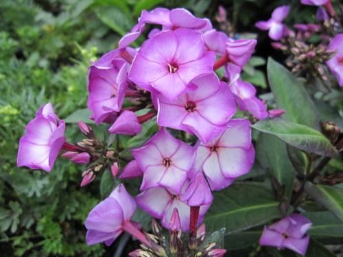 Phlox paniculata Sweet Summer Purple Bicolor - 2 litre pot