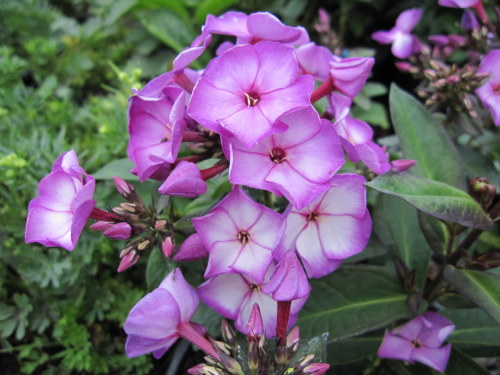 Phlox paniculata Sweet Summer Purple Bicolor - 9cm pot
