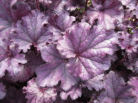 Heuchera Forever Purple - 2 litre pot