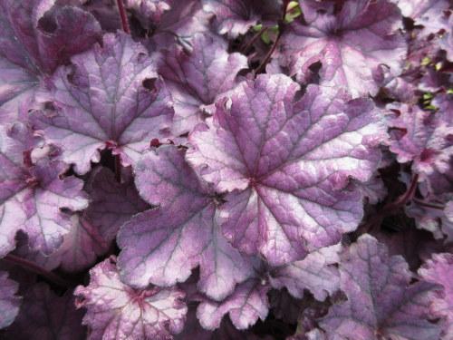 Heuchera Forever Purple - 9cm pot