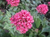 Centranthus ruber var. coccineus - 9cm pot