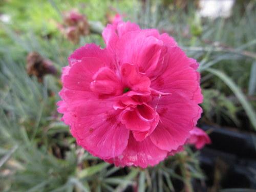 Dianthus Houndspool Ruby - 9cm pot