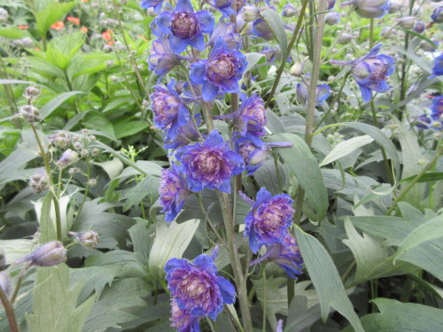 Delphinium Highlander Sweet Sensation - 2 litre pot