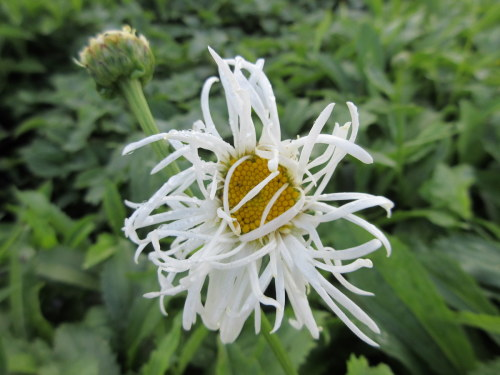 Leucanthemum x superbum Beaute Nivelloise (Old Court) - 9cm pot
