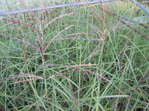 Miscanthus sinensis Morning Light - 9cm pot
