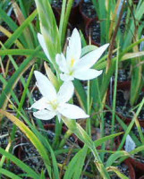 Hesperantha (Schizostylis) coccinea f. alba - 9cm pot