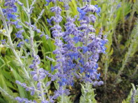 Perovskia atriplicifolia Little Spire - 2 litre pot