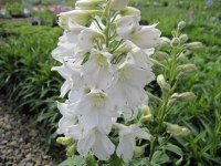 Delphinium Magic Fountains Pure White - 2 litre pot